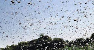 ਪਾਕਿਸਤਾਨੋਂ ਪਹੁੰਚਿਆ ਟਿੱਡੀ ਦਲ, ਕਿਸਾਨ ਘਬਰਾਏ, ਖੇਤੀਬਾੜੀ ਵਿਭਾਗ ਨੇ ਕਿਹਾ, 'ਥਾਲੀਆਂ ਖੜਕਾਓ'