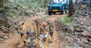 मध्य प्रदेश के टाइगर स्टेट के तमगे पर मंडरा रहा खतरा, पिछले डेढ़ महीने में 5 बाघों की मौत